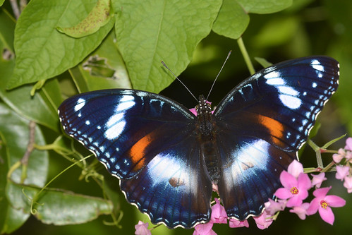 Varied Eggfly Butterfly   by jeans_Photos
