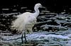 little egret by tdwrsa