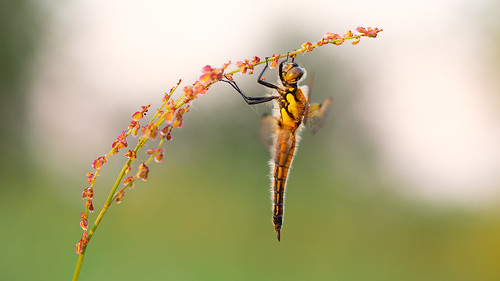 wimboon viervlek macro macrofotografie nederland netherlands natuur nature sunset libel dragonfly canoneos5dmarkiii canon100mmf28lismacro hoekzoeker