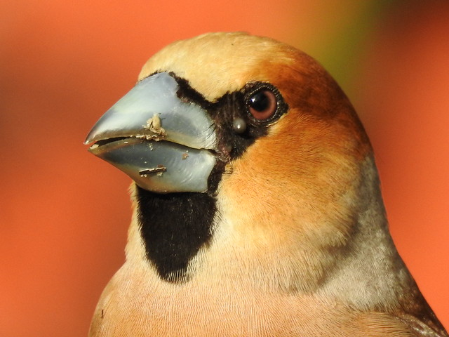 Hawfinch with ticks.