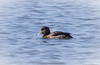 Tufted Duck (Aythya fuligula) - Lake of the Lilies, Point Pleasant Beach, New Jersey by JFPescatore