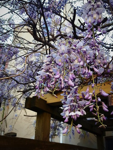 wisteria on my terrace | by MissionControl