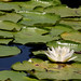 Flickr photo 'White Waterlily (Nymphaea odorata)' by: Mary Keim.
