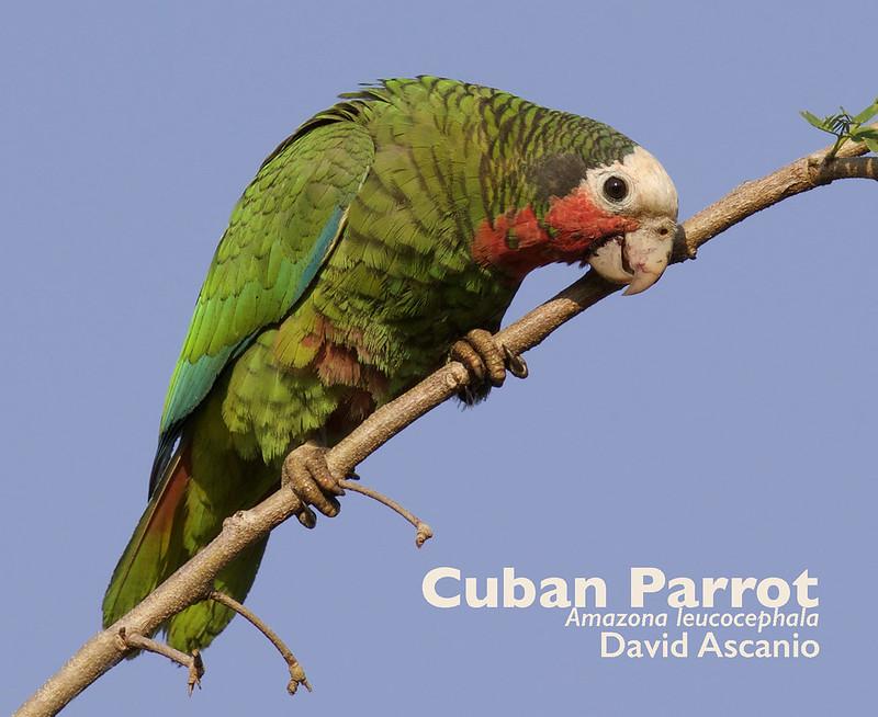Cuban Parrot, Amazona leucocephala_199A2456