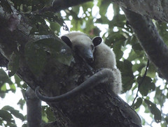 Northern tamandua (Tamandua mexicana)