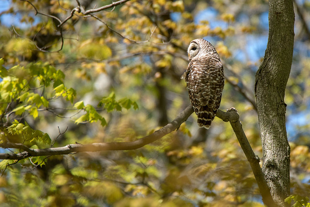 Barred Owl in Spring Foliage