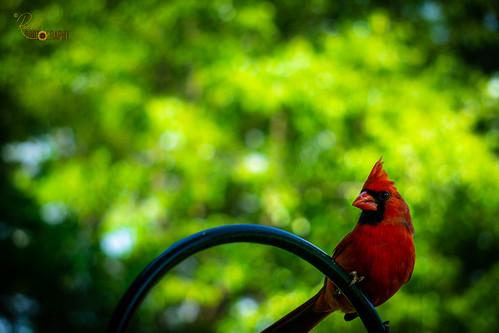 birds color ilce6000 nc northcarolina randall sony us usa unitedstates a6000 alpha amazing beautiful bird black cardinal colors day daylight green image interesting nature nice one outdoor outdoors outside photo photographer photography pic picture pretty redcardinal top wild wildlife
