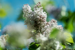 Lilac blossoming