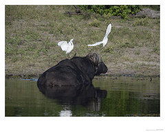African buffalo and egrets