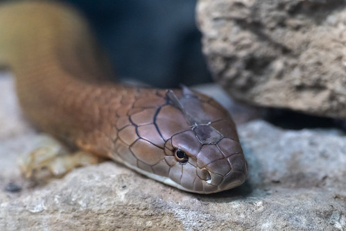 King Cobra Closeup | by Eric Kilby
