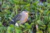 Striated Heron (Butorides striata) Pantanal, Mato Grosso, Brazil 2017 by Ricardo Bitran