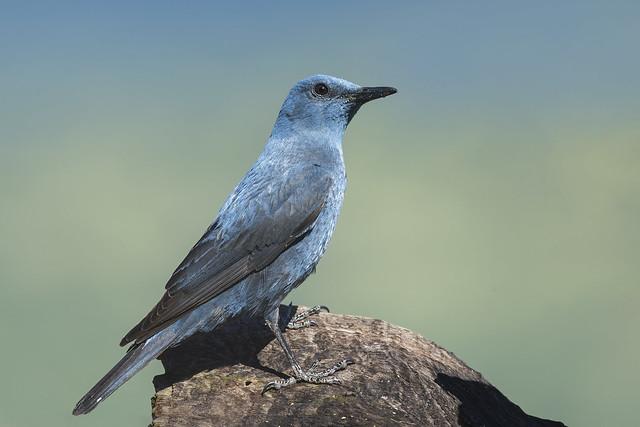 Passero solitario - Blue rock thrush
