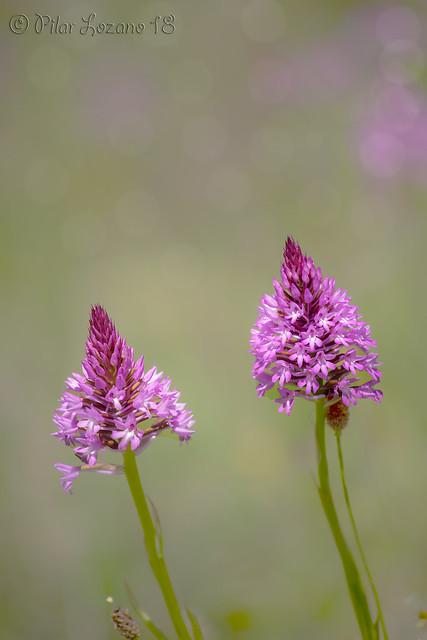 Orquídea Piramidal.(Anacamptis pyramidalis)