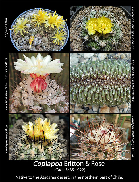 Copiapoa genus (collage)