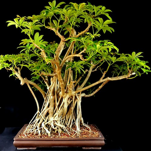 hawaiian-umbrella-Schefflera