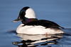 Bufflehead Duck by jrp76