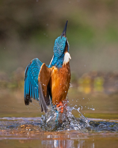 Kingfisher rising 1 | by Richard Towell
