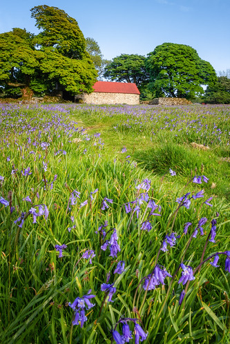 bluebells field barn building dartmoor devon landscape landscapes landscapephotography landmark grass flower flowers canon england efs1585mmisusm eos eos80d nature nationaltrust
