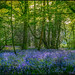 It wouldn't be May without Bluebells by Peter Juerges