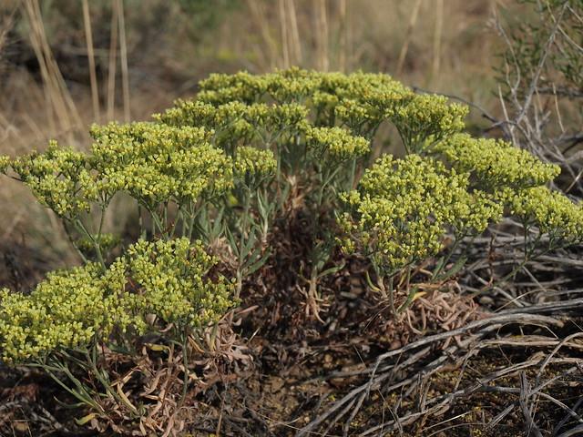 yellow pinyon buckwheat, Eriogonum microthecum var. ambiguum