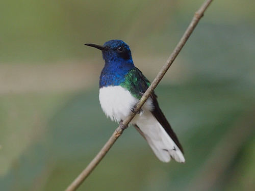 White-necked Jacobin | by Oleg Chernyshov