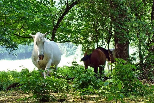 zwei Pferde standen auch bei den Kühen