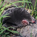 European Mole - Photo (c) Mark Kilner, some rights reserved (CC BY-NC-SA)
