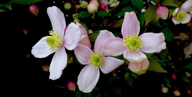 Pink Clematis with Buds