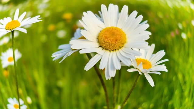 RUSH Daisy - 5131