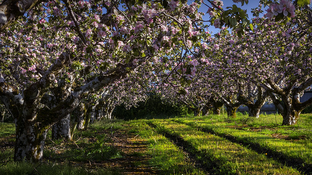 The orchards of Erin's green land