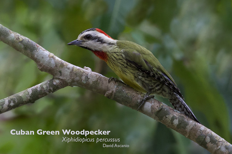 Cuban Greeen Woodpecker, Xiphidiopicus percussus_199A5701