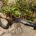Flickr photo 'Northern Black Racer, Coluber constrictor constrictor Linnaeus, 1758' by: Misenus1.