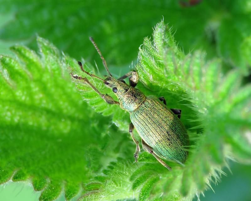 Green Nettle Beetle - Phyllobius pomaceus