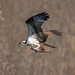 Osprey and Dinner  (Moraine State Park Pa) by jim-dude