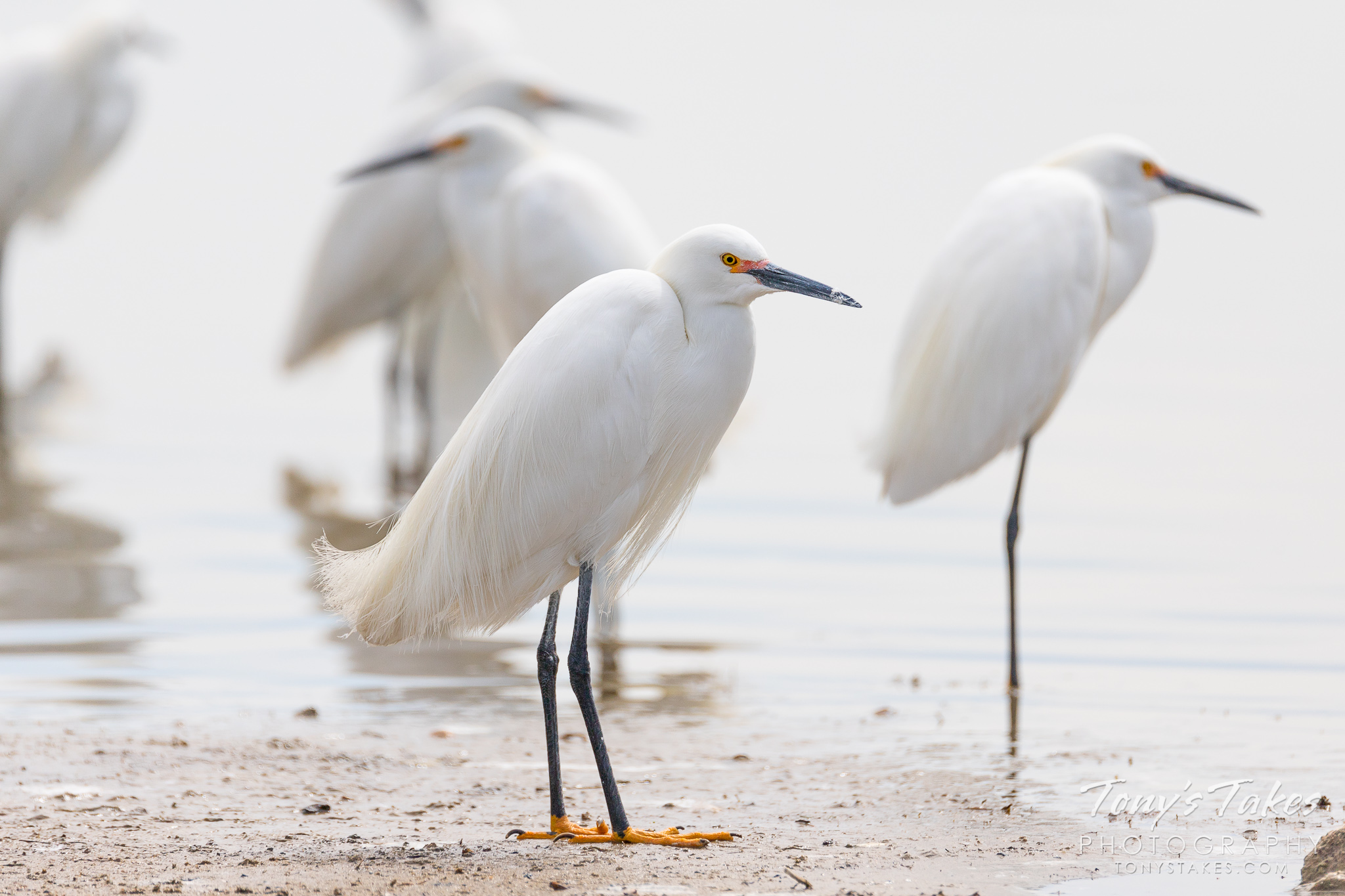 Snowy egrets hang out on the shoreline of a pond in Adams County, Colorado. (© Tony's Takes)