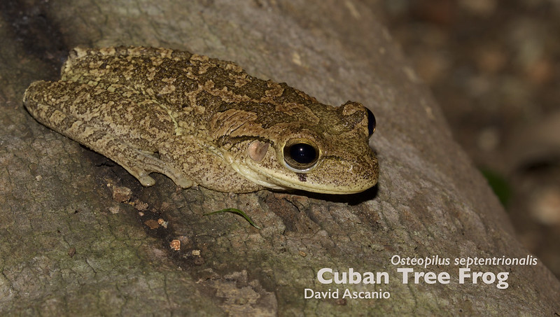 Cuban Tree Frog, Osteopilus septentrionalis_199A4107