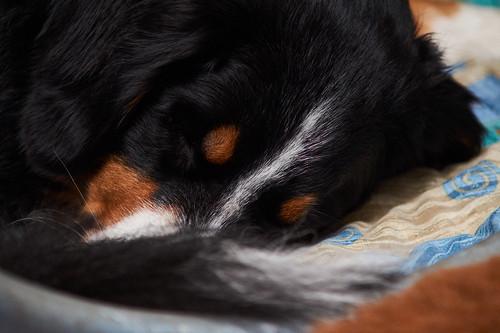 Bernese Mountain Dog | by Htbaa