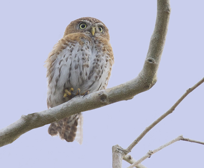 Cuban Pygmy Owl, Glaucidium siju_199A4125