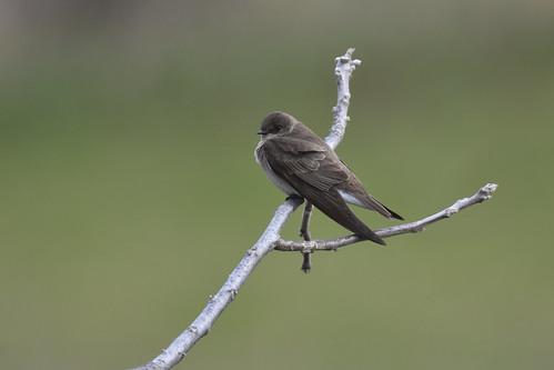 2018 browncounty hiawathacitylake kansas northernroughwingedswallowstelgidopteryxserripennis usa