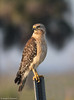 Red-shouldered Hawk (Buteo lineatus) - Fellsmere, Florida by JFPescatore