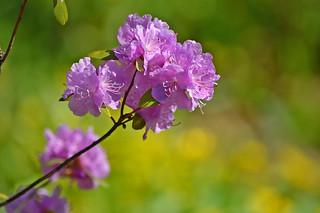 Rhododendron 🌺 Beautiful and warm spring 2018 #Finland | by L.Lahtinen (nature photography)