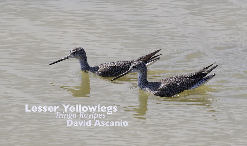 Lesser Yellowlegs, Tringa flavipes_199A3045