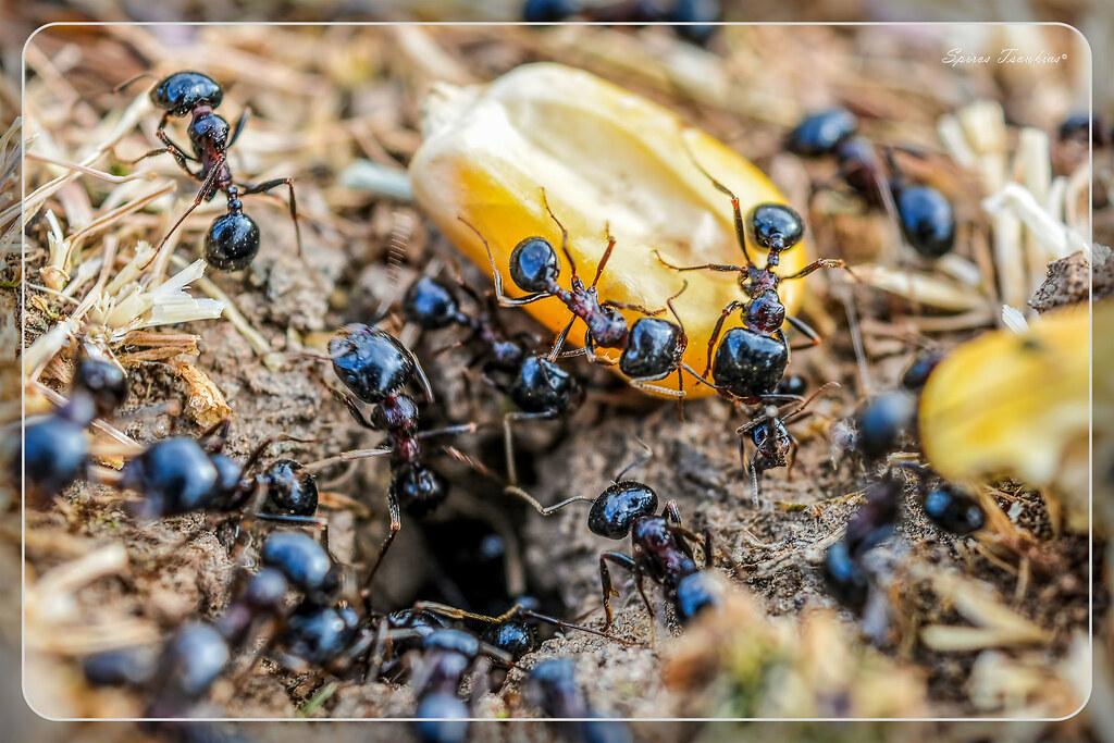 Μυρμήγκια σε Μυρμηγκοφωλιά !!!