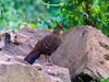 Kalij Pheasant (Lophura leucomelanos) by David Cook Wildlife Photography