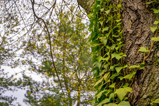 Ivy growing up the side of a maple tree | by John Brighenti