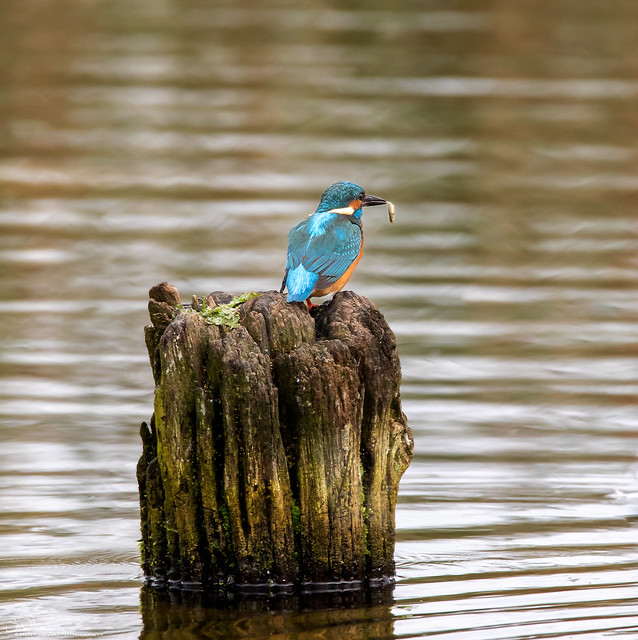 Kingfisher Stump