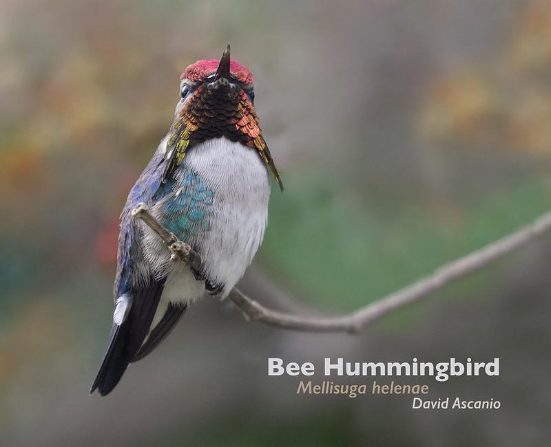 Bee Hummingbird, Mellisuga helenae_199A4705