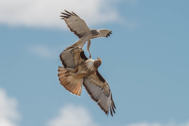 Battle between Northern Harrier (Circus hudsonius) and Red-tailed Hawk (Buteo jamaicensis)
