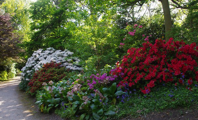 Rhododendron woods at RHS Wisley