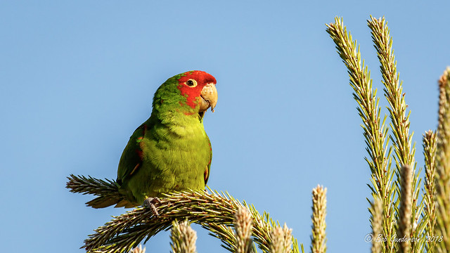 Red-masked Parakeet [Explored]